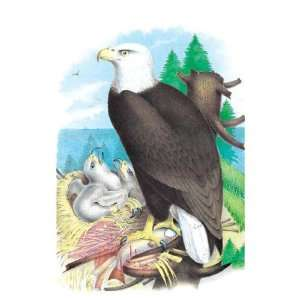 Exclusive By Buyenlarge The Bald Eagle (White Headed Eagle) 12x18